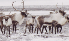 Caribou confiscated over poaching suspicions