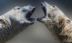 Polar bear management discussions get underway